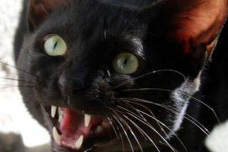 Este gato se enfrenta en un 'pata a pata' con un coyote y gana