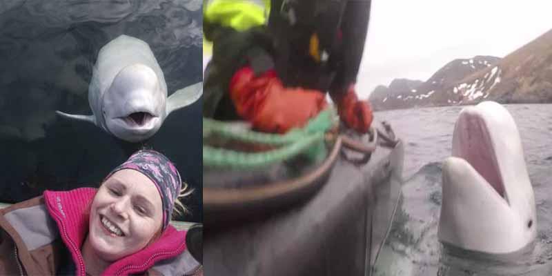 La ballena beluga 'espía' del FSB ruso está divirtiéndose mucho en Noruega