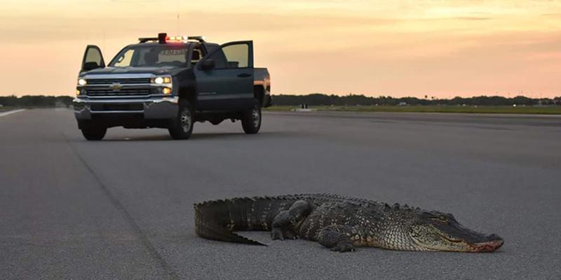 Este caimán bloquea el funcionamiento de una base aérea en Estados Unidos