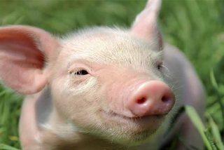 Los científicos logran regenerar el corazón de un cerdo después de un infarto de miocardio