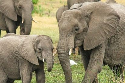 El momento en el que una elefanta enfurecida mata a un aldeano que fotografiaba con su móvil a su cría muerta