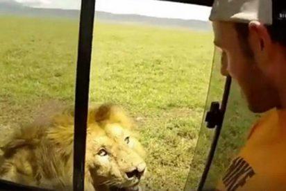 Este imprudente dominguero abrió la ventana de su coche para acariciar a león y pasa lo inevitable…