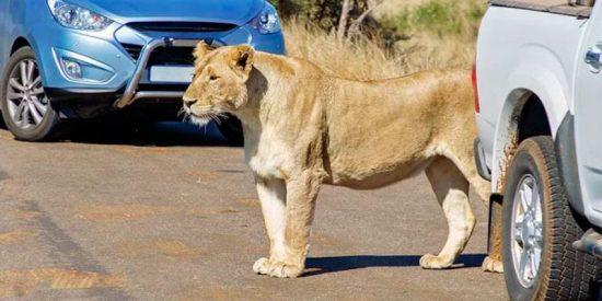 Lo que sucede cuando vas a un safari y no tienes bloqueadas las puertas de tu coche habiendo leones cerca