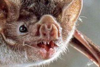 Este murciélago escondido en la funda de un iPad muerde a un hombre y lo contagia de rabia