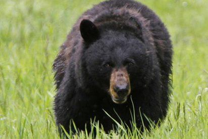 Escucha rugidos en su jardín y descubre a dos enormes osos enzarzados en una sangrienta pelea