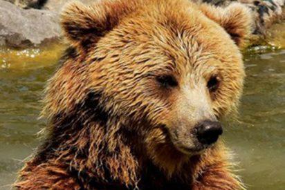 Este oso cae de un precipicio tras ser apedreado por un grupo de indeseables