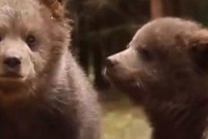 Estos dos cachorros de oso pardo huérfanos consiguen enamorar a los internautas