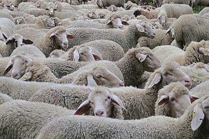 """Olvidó cerrar la cerca de su patio trasero y cientos de ovejas lo """"visitaron"""""""