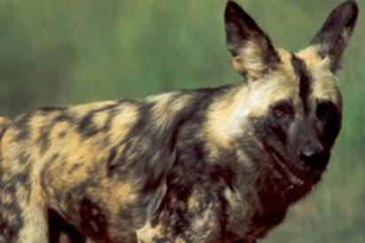 Este astuto perro salvaje finge estar muerto y huye de la boca de una leona