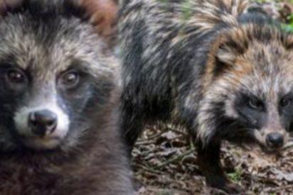 Perros mapache tienen en alerta a una comunidad del norte de Inglaterra