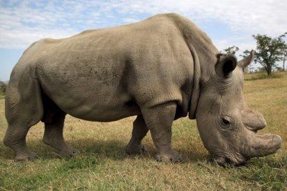 Los 10 datos sobre el amenazado rinoceronte blanco que debes conocer