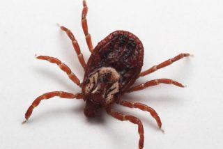 Los quelicerados: Acaros y garrapatas proceden de un único linaje evolutivo