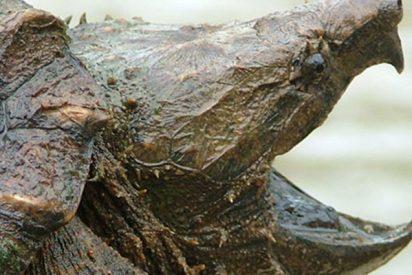 Hallan esta tortuga caimán de casi 30 kilos en EE.UU.