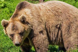 Los osos pardos atacaron 664 veces a personas entre 2000 y 2015