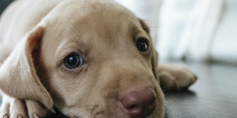 """Los perros evolucionaron músculos concretos para poner """"ojos de cachorrito"""""""
