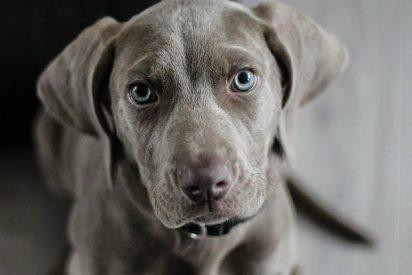 La laxitud en las articulaciones de los perros está relacionada con la angustia