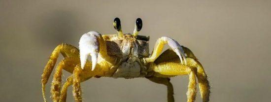 Mira el primer caso de chimpancés comiendo cangrejos
