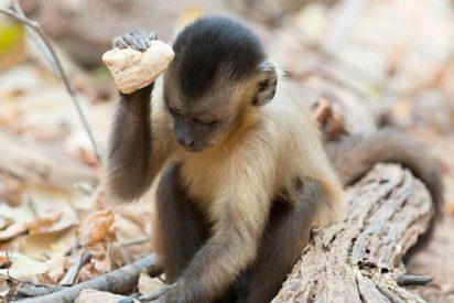 Los monos capuchinos sudamericanos comenzaron a usar herramientas de piedra hace al menos 3.000 años