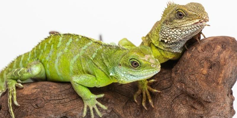 Hembra de dragón logra tener una cría viva a pesar de ser virgen