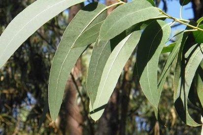 El eucalipto puede usarse para producir grafeno 100 veces más barato