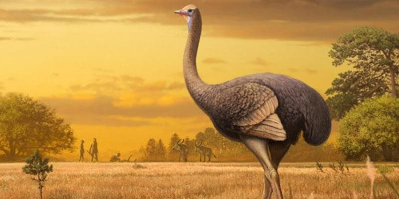 Así era la sobrecogedora ave elefante, un plumífero prehistórico que triplicaba el tamaño de un avestruz