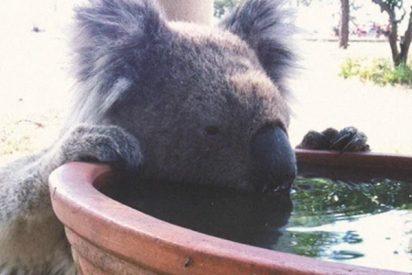Los koalas se mueren de sed: las hojas ya no les aportan el agua suficie