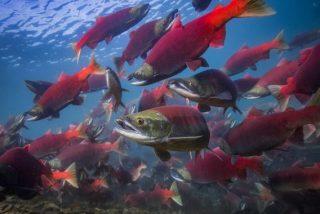 El ciclo vital de los salmones rojos del Pacífico está siendo alterado por el cambio climático