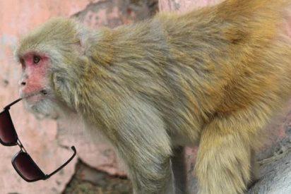 Los macacos, a diferencia de los humanos, no distinguen el ruido de los sonidos armoniosos