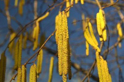 Un nuevo método detecta en el aire el principal alérgeno del olivo