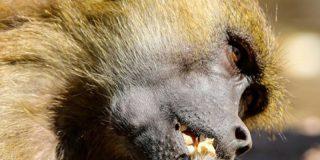 Este babuino atrapa a dos patitos en un zoológico y los devora ante los horrorizados ojos de los niños