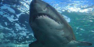 Este tiburón acecha a una nadadora en Florida