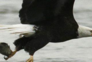 Pillan a este águila nadando como una persona en un lago de EE.UU.