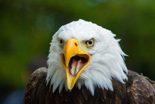 Pillan a este águila nadando como una persona en un lago de EEUU