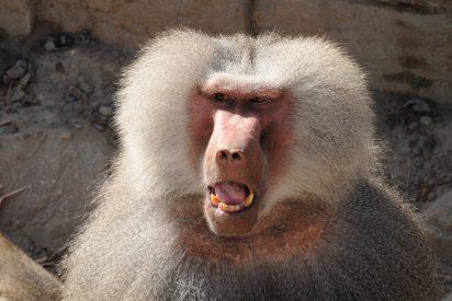 Este babuino atrapa a dos patitos en el zoo y se los zampa ante los horrorizados ojos de los niños