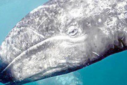 Muy malas noticias: Japón vuelve a cazar ballenas con fines comerciales después de 30 años de moratoria