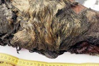 Encuentran esta cabeza de lobo gigante de 40.000 años de antigüedad con el cerebro intacto