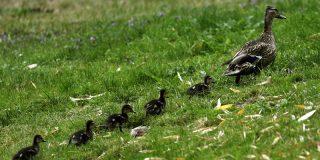Esta familia de patos provoca un accidente y hace detener el tráfico en una carretera