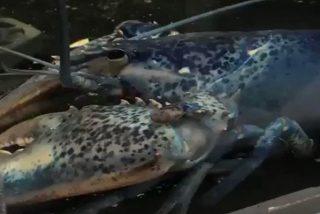 Restaurante de EE.UU. recibe esta langosta azul extremadamente rara
