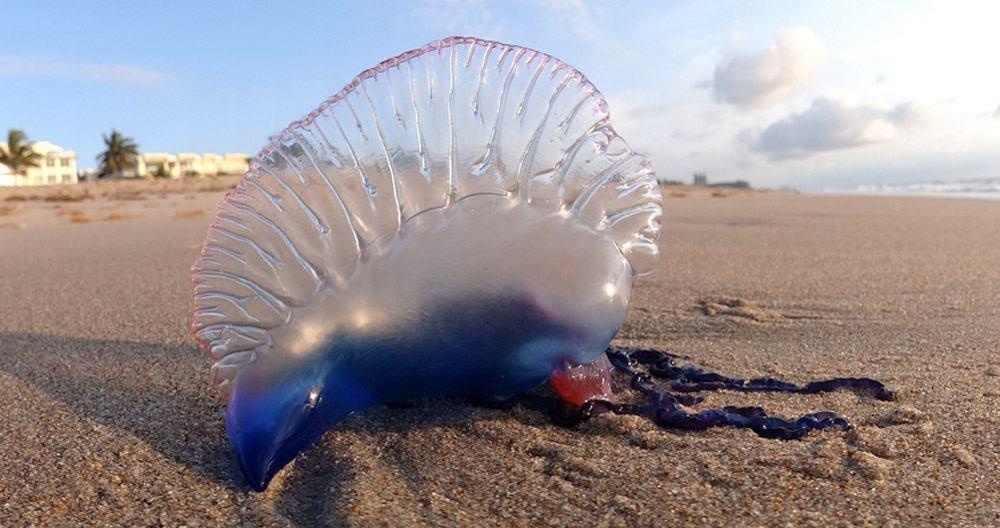 ¡Atención!: Siete atendidos por picaduras de carabela portuguesa en la playa de Benidorm