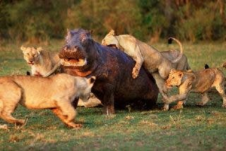 Las 5 leonas atacan a un hipopótamo herido y pasa esto…