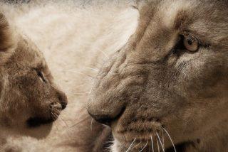 Descubren a Mufasa y Simba en la vida real en la víspera del estreno del nuevo 'El rey león'