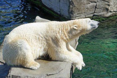 Este oso polar se merienda un pato ante los asombrados visitantes de un zoo