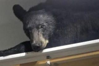 Este oso entra en una casa, se encierra en una habitación y duerme una siesta en un armario