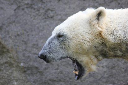 El oso polar se merienda un pato ante los aterrados visitantes del zoo