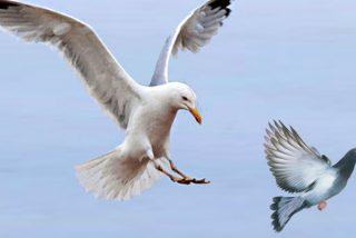 El vídeo que demuestra y explica muy claro por qué las palomas odian a las gaviotas
