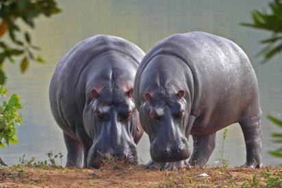 El 'equipo' de hipopótamos invade un campo de rugby y se hace viral