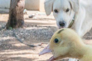 ¿Sabías que este vídeo del perro que pierde el control y se desmaya al ver unos patos es más triste de lo que imaginabas?