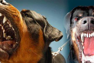 Mascotas: Los 10 perros más fuertes, feroces y peligrosos del mundo