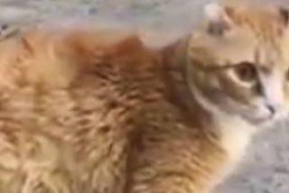 Este es Ryzhik, el gato que volvió a caminar gracias a sus 4 patas de titanio