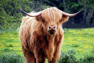 Chiste: el del matrimonio de turistas alemanes y el toro semental
